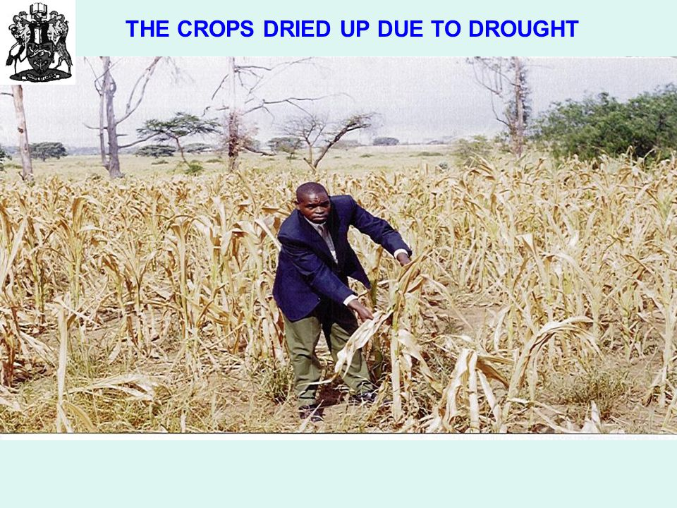THE CROPS DRIED UP DUE TO DROUGHT