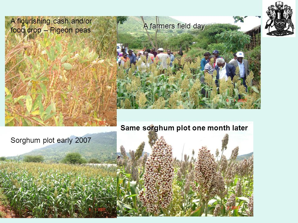 Sorghum plot early 2007 A flourishing cash and/or food crop – Pigeon peas Same sorghum plot one month later A farmers field day