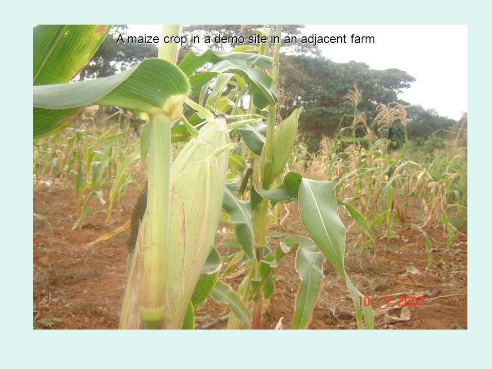 A maize crop in a demo site in an adjacent farm
