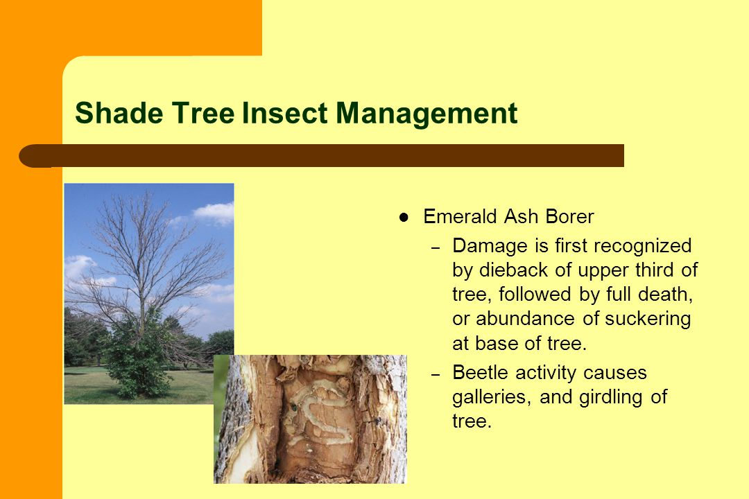 Shade Tree Insect Management Emerald Ash Borer – Damage is first recognized by dieback of upper third of tree, followed by full death, or abundance of suckering at base of tree.