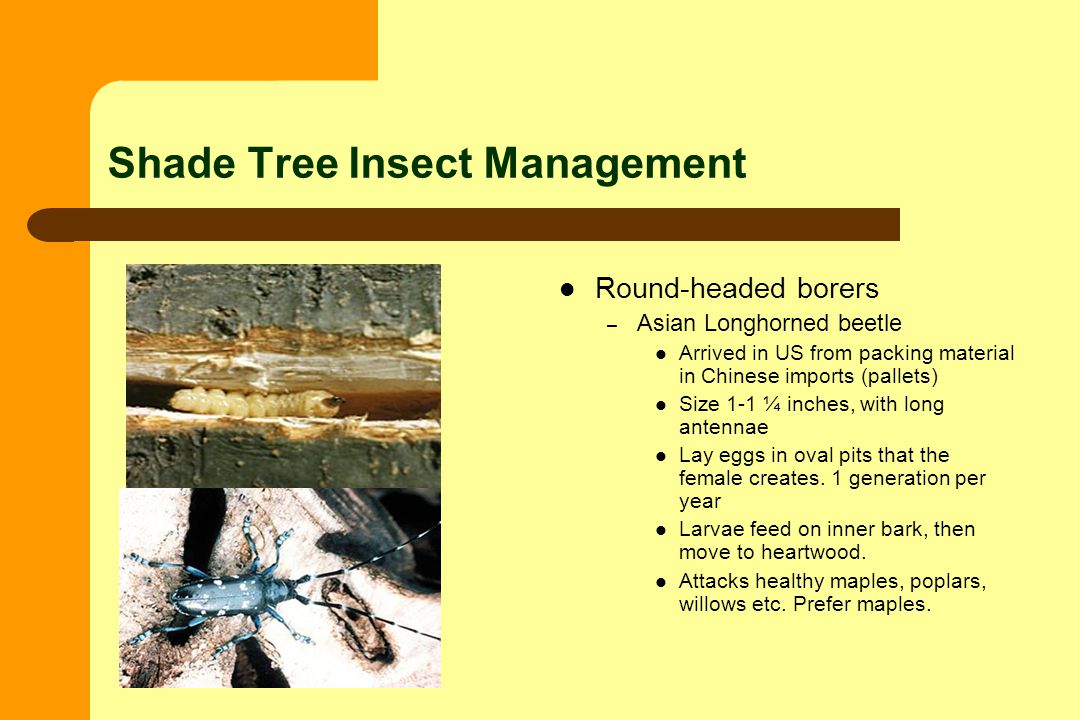 Shade Tree Insect Management Round-headed borers – Asian Longhorned beetle Arrived in US from packing material in Chinese imports (pallets) Size 1-1 ¼ inches, with long antennae Lay eggs in oval pits that the female creates.