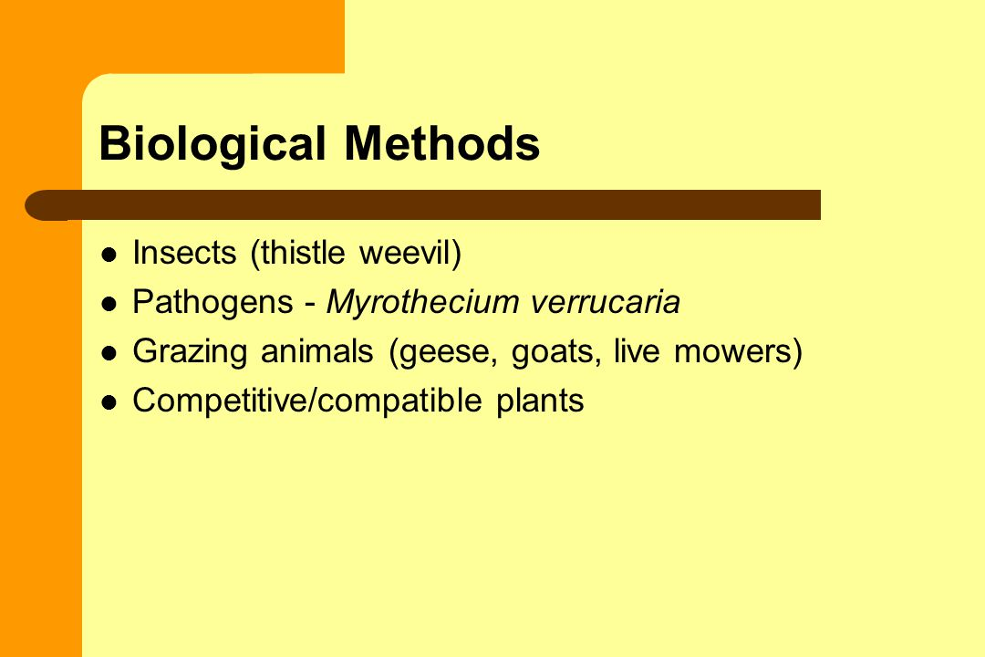 Biological Methods Insects (thistle weevil) Pathogens - Myrothecium verrucaria Grazing animals (geese, goats, live mowers) Competitive/compatible plants