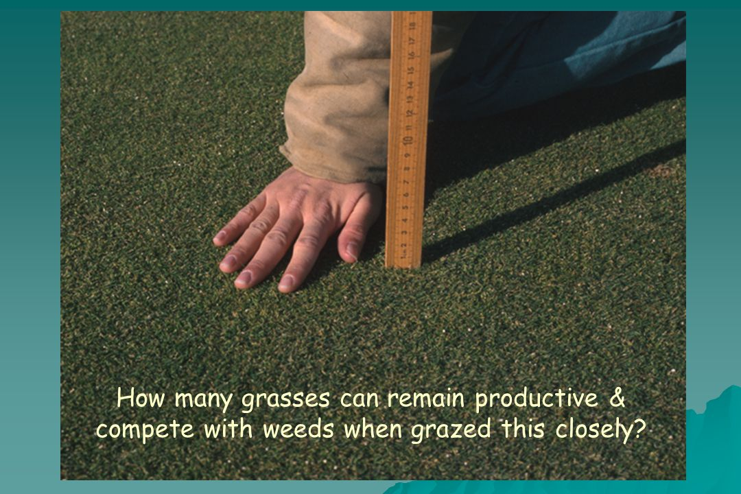 How many grasses can remain productive & compete with weeds when grazed this closely