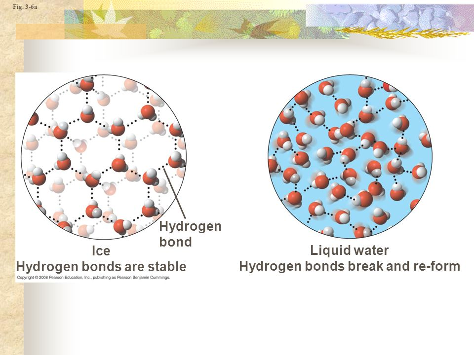 Fig. 3-6a Hydrogen bond Liquid water Hydrogen bonds break and re-form Ice Hydrogen bonds are stable