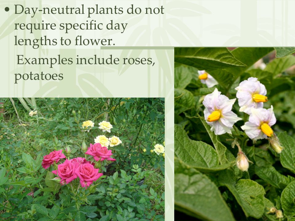 Day-neutral plants do not require specific day lengths to flower. Examples include roses, potatoes