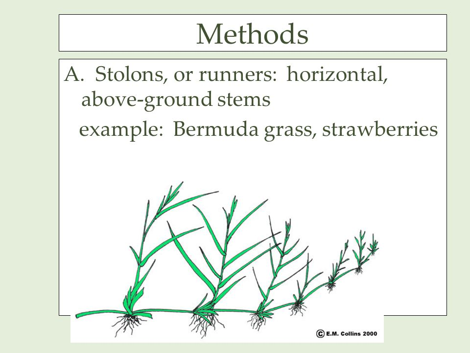 Methods A. Stolons, or runners: horizontal, above-ground stems example: Bermuda grass, strawberries