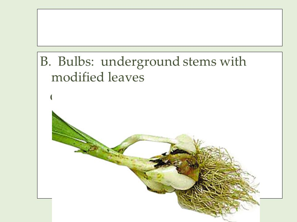B. Bulbs: underground stems with modified leaves examples: onion, daffodil, tulip