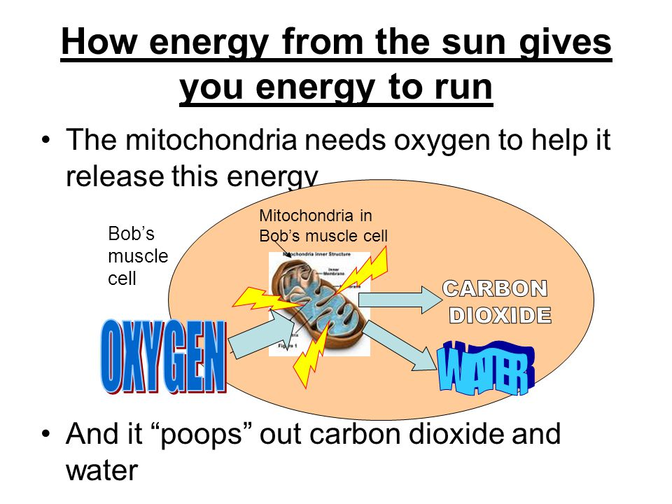 How energy from the sun gives you energy to run The mitochondria needs oxygen to help it release this energy And it poops out carbon dioxide and water Bobs muscle cell Mitochondria in Bobs muscle cell