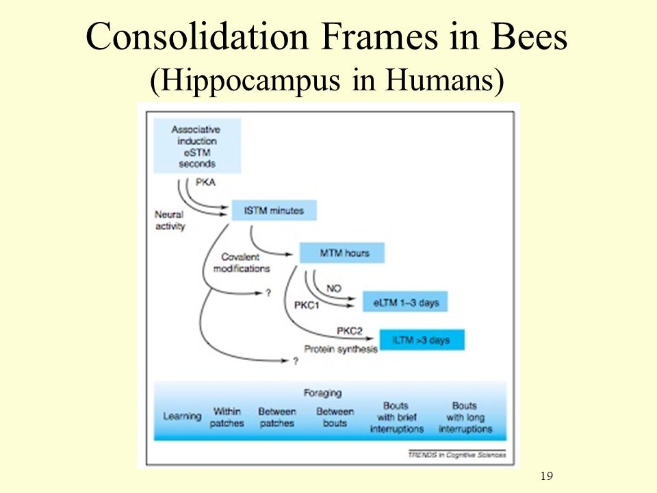 19 Consolidation Frames in Bees (Hippocampus in Humans)