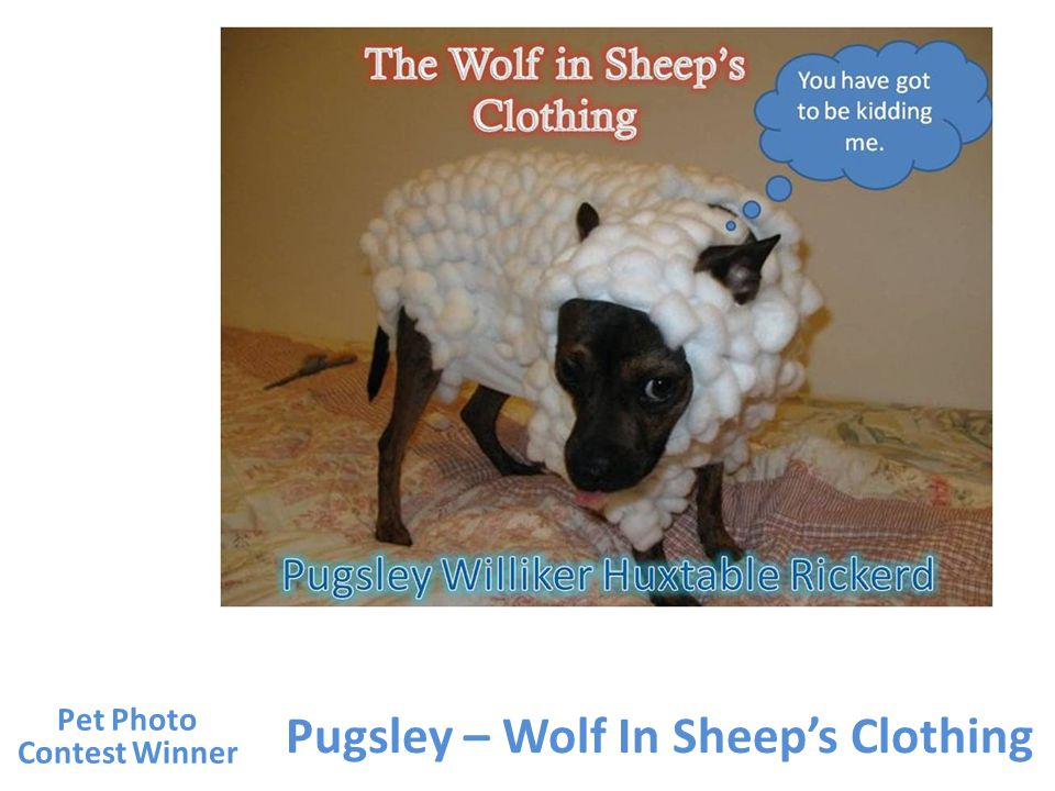 Pugsley – Wolf In Sheeps Clothing Pet Photo Contest Winner