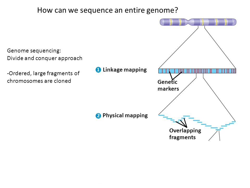 Linkage mapping 1 2 3 Genetic markers Physical mapping Overlapping fragments DNA sequencing How can we sequence an entire genome.
