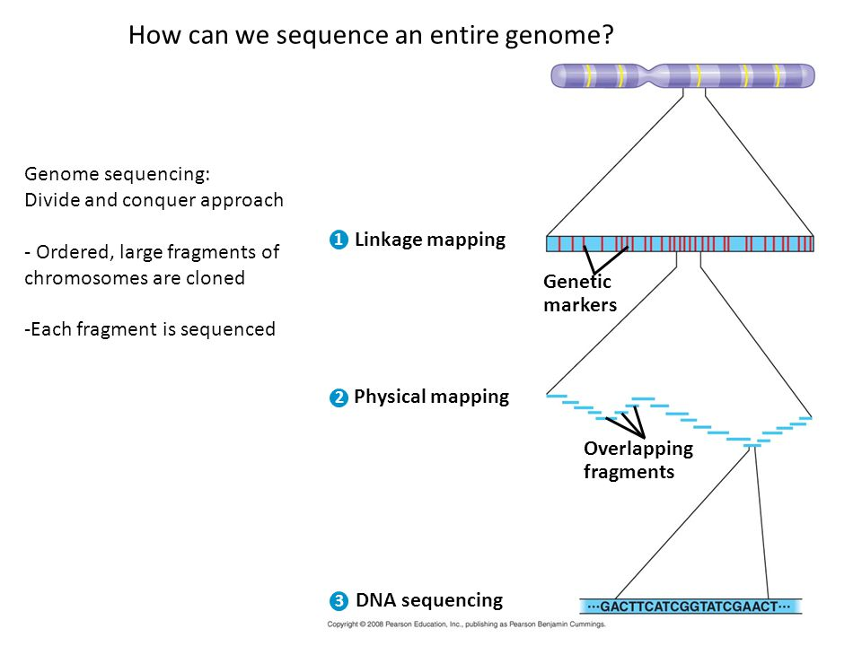 Linkage mapping 1 2 3 Genetic markers Physical mapping Overlapping fragments DNA sequencing Genome sequencing: Divide and conquer approach - Ordered, large fragments of chromosomes are cloned -Each fragment is sequenced How can we sequence an entire genome