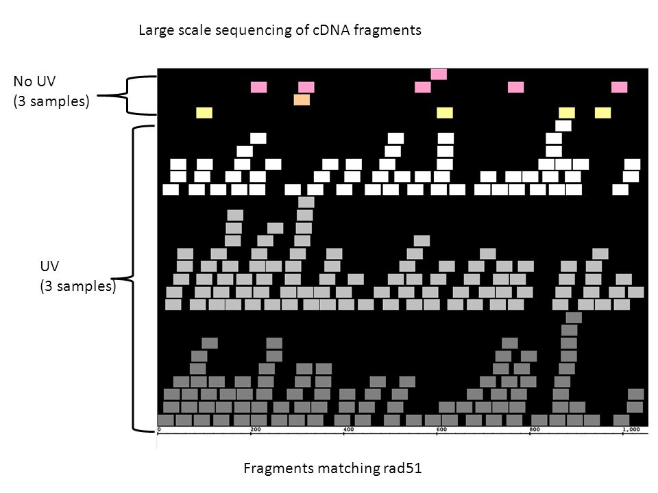 No UV (3 samples) UV (3 samples) Large scale sequencing of cDNA fragments Fragments matching rad51