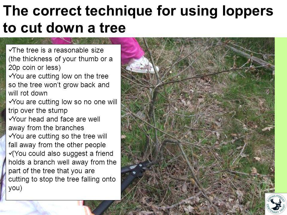 The correct technique for using loppers to cut down a tree The tree is a reasonable size (the thickness of your thumb or a 20p coin or less) You are cutting low on the tree so the tree wont grow back and will rot down You are cutting low so no one will trip over the stump Your head and face are well away from the branches You are cutting so the tree will fall away from the other people (You could also suggest a friend holds a branch well away from the part of the tree that you are cutting to stop the tree falling onto you)