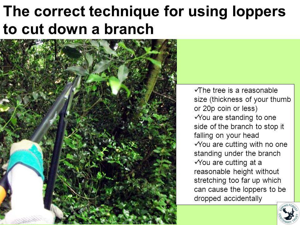 The correct technique for using loppers to cut down a branch The tree is a reasonable size (thickness of your thumb or 20p coin or less) You are standing to one side of the branch to stop it falling on your head You are cutting with no one standing under the branch You are cutting at a reasonable height without stretching too far up which can cause the loppers to be dropped accidentally