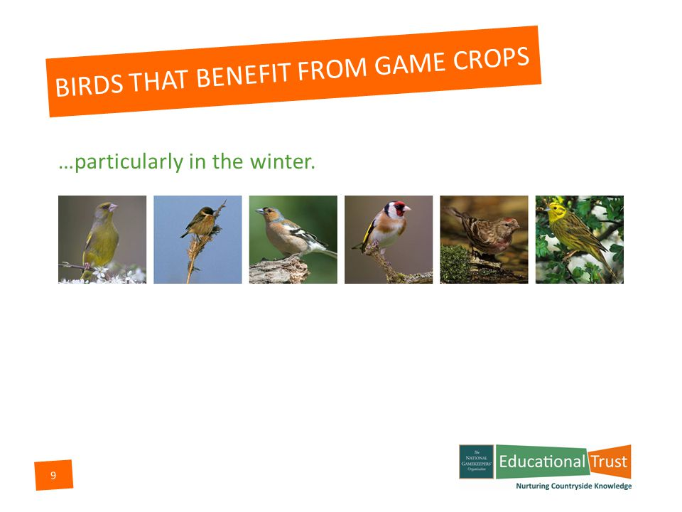 8 BIRDS THAT BENEFIT FROM GAME CROPS All these bird species benefit from the planting of game crops…