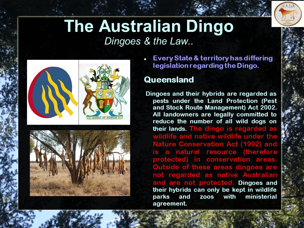 The Australian Dingo Dingoes & the Law..