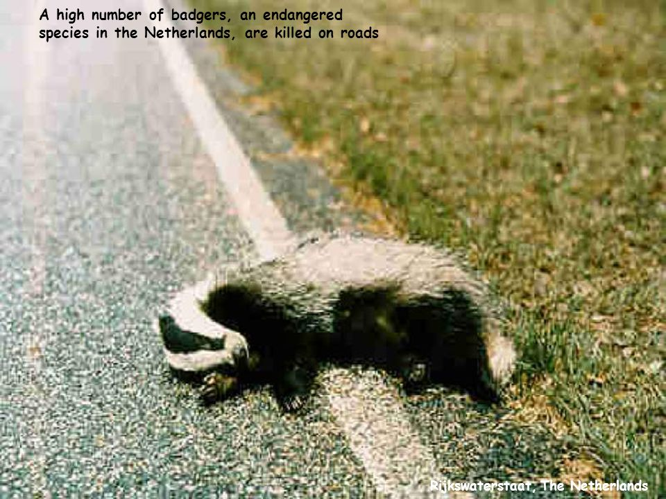 Rijkswaterstaat, The Netherlands A high number of badgers, an endangered species in the Netherlands, are killed on roads