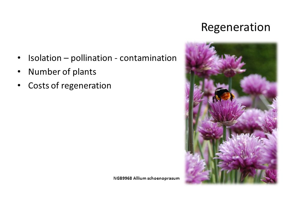 Regeneration Isolation – pollination - contamination Number of plants Costs of regeneration NGB9968 Allium schoenoprasum