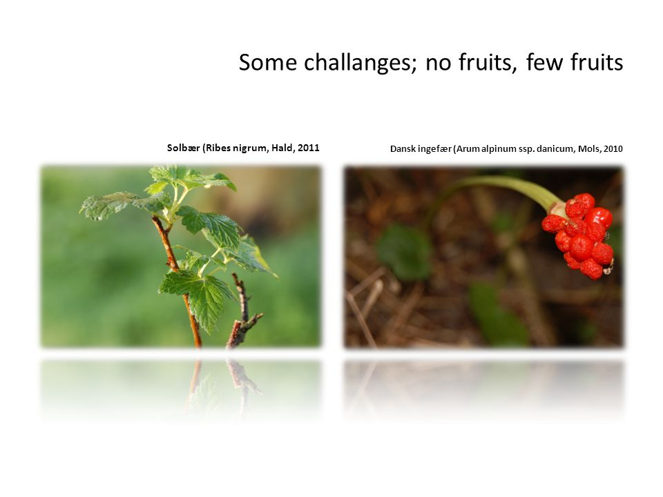 Some challanges; no fruits, few fruits Solbær (Ribes nigrum, Hald, 2011 Dansk ingefær (Arum alpinum ssp.
