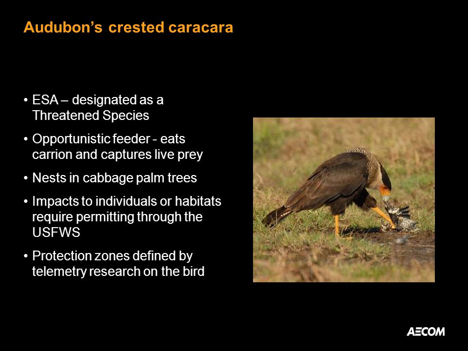 Audubons crested caracara ESA – designated as a Threatened Species Opportunistic feeder - eats carrion and captures live prey Nests in cabbage palm trees Impacts to individuals or habitats require permitting through the USFWS Protection zones defined by telemetry research on the bird