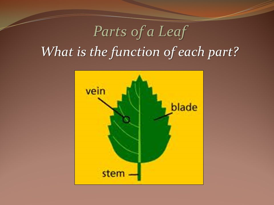 Parts of a Leaf What is the function of each part