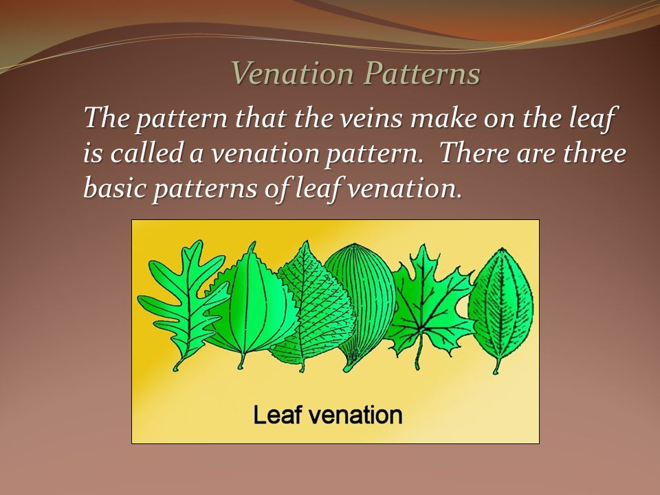 Venation Patterns The pattern that the veins make on the leaf is called a venation pattern.