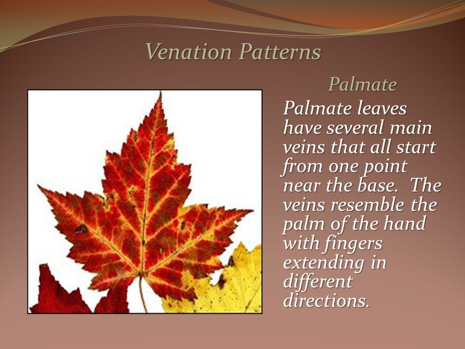 Palmate Palmate leaves have several main veins that all start from one point near the base.