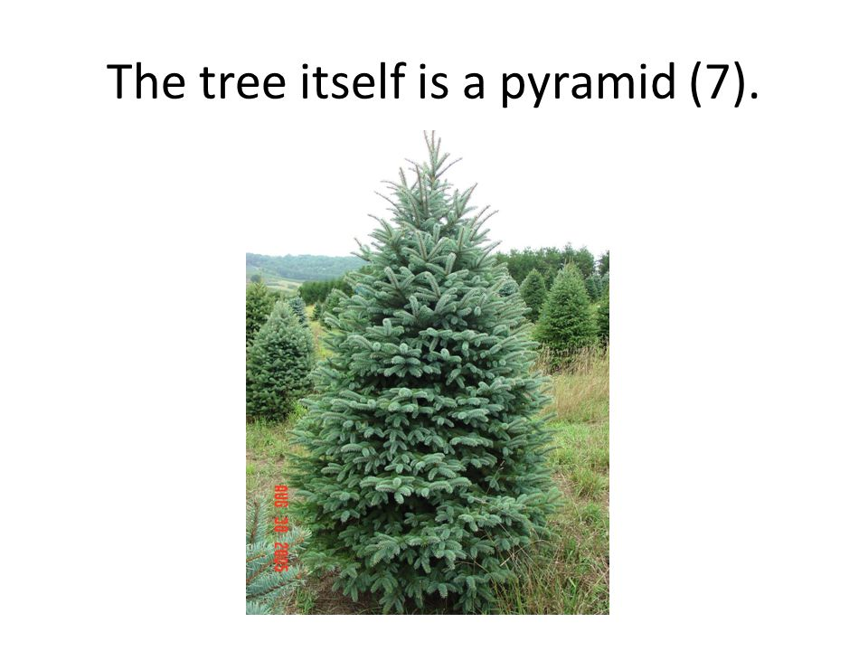 The tree itself is a pyramid (7).