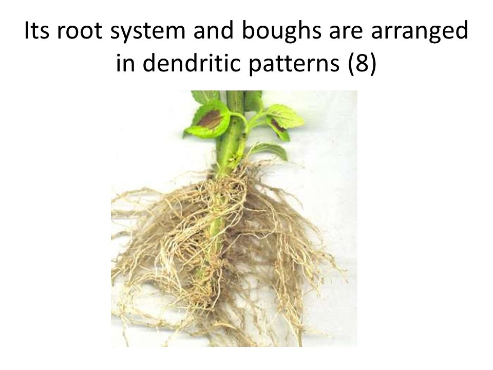 Its root system and boughs are arranged in dendritic patterns (8)