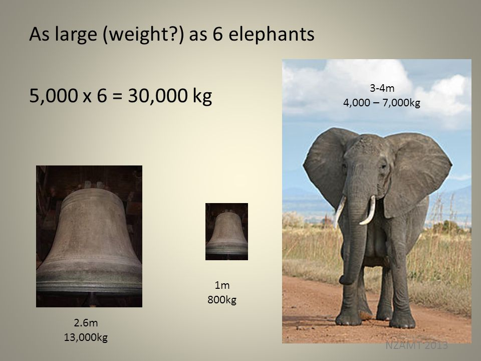 As large (weight ) as 6 elephants 5,000 x 6 = 30,000 kg 2.6m 13,000kg 1m 800kg 3-4m 4,000 – 7,000kg NZAMT 2013