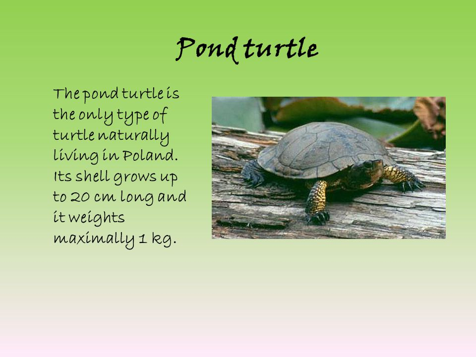 Pond turtle The pond turtle is the only type of turtle naturally living in Poland.