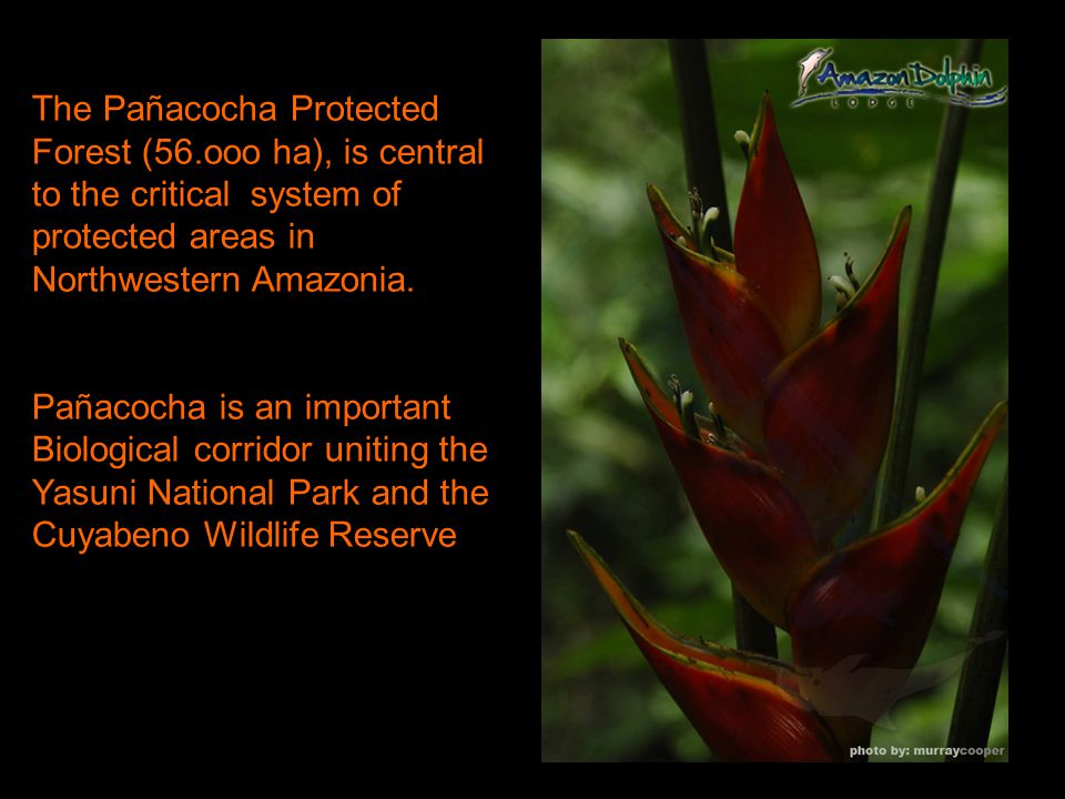The Pañacocha Protected Forest (56.ooo ha), is central to the critical system of protected areas in Northwestern Amazonia.