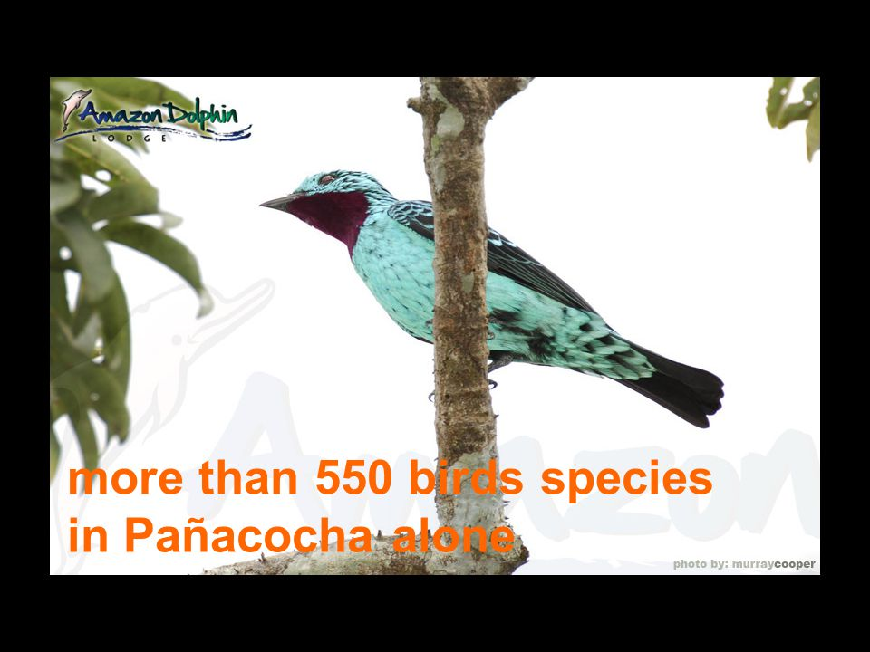 more than 550 birds species in Pañacocha alone