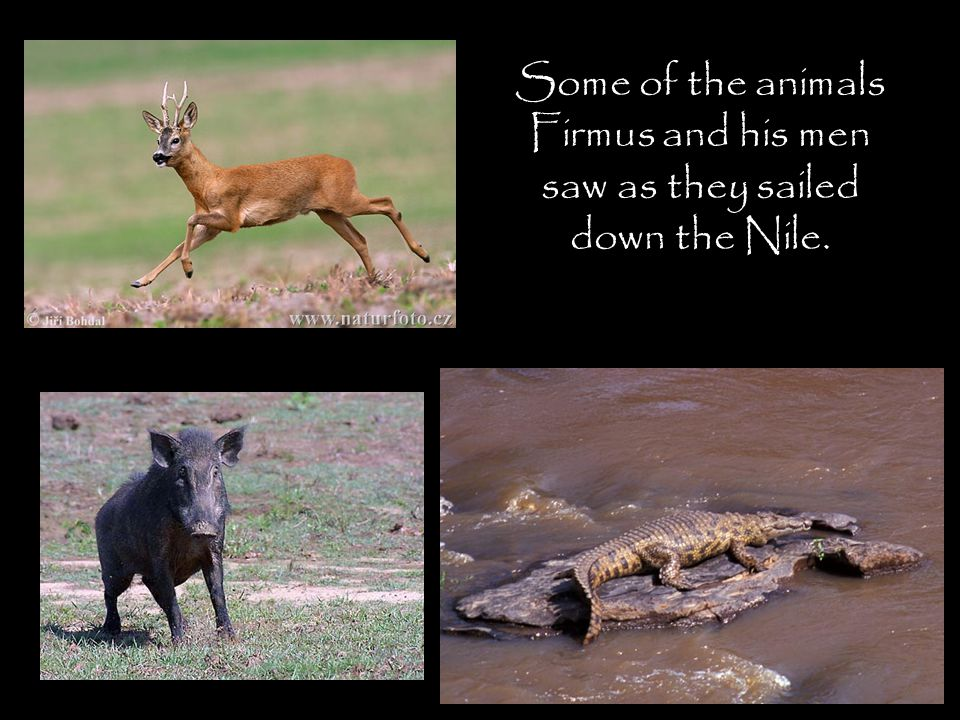 Some of the animals Firmus and his men saw as they sailed down the Nile.