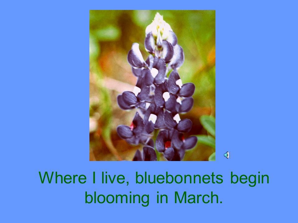 One of my favorite flowers is the bluebonnet.