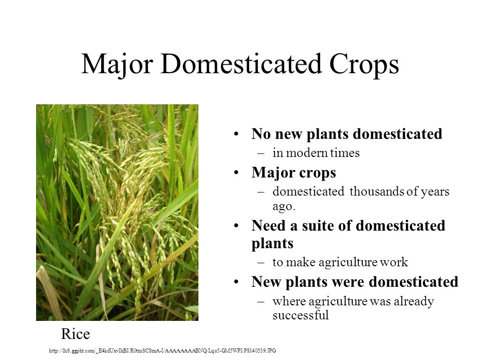 Major Domesticated Crops No new plants domesticated –in modern times Major crops –domesticated thousands of years ago.