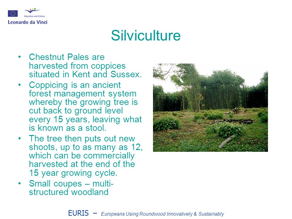 EURIS – Europeans Using Roundwood Innovatively & Sustainably Silviculture Chestnut Pales are harvested from coppices situated in Kent and Sussex.