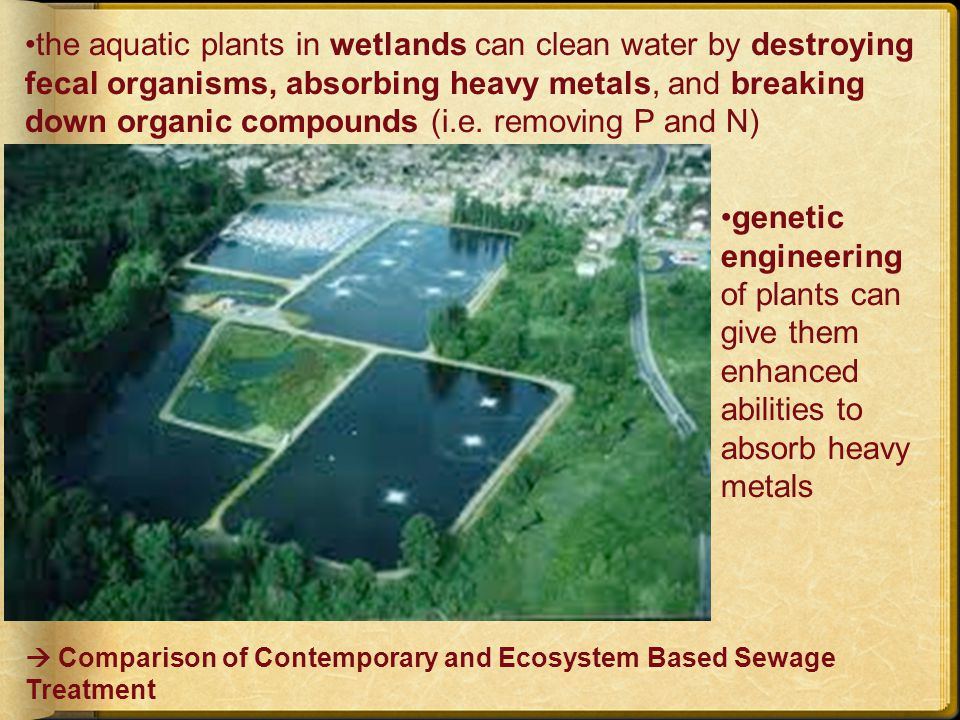 the aquatic plants in wetlands can clean water by destroying fecal organisms, absorbing heavy metals, and breaking down organic compounds (i.e.