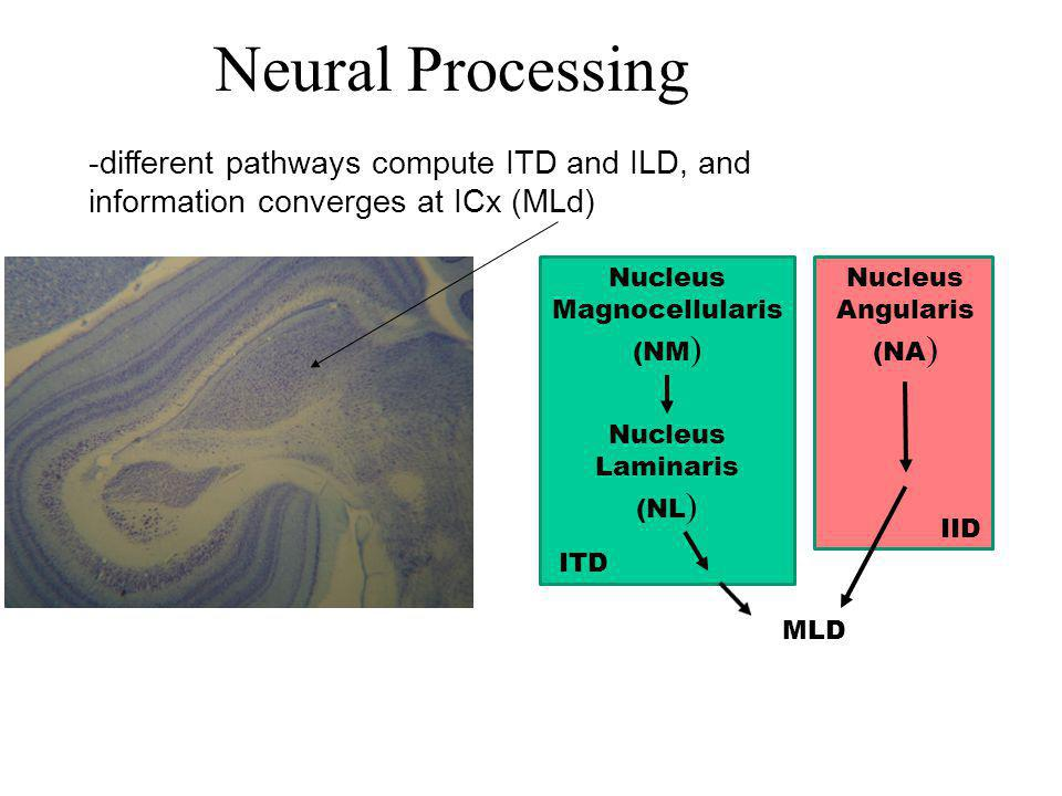Neural Processing -different pathways compute ITD and ILD, and information converges at ICx (MLd) Nucleus Magnocellularis (NM ) MLD Nucleus Laminaris (NL ) Nucleus Angularis (NA ) ITD IID