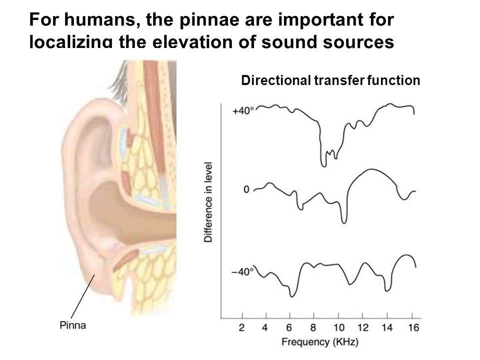 Directional transfer function For humans, the pinnae are important for localizing the elevation of sound sources