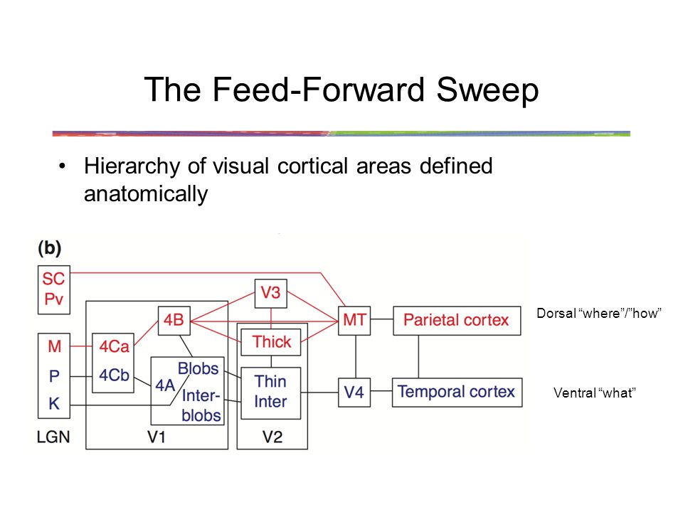 The Feed-Forward Sweep Hierarchy of visual cortical areas defined anatomically Dorsal where/how Ventral what