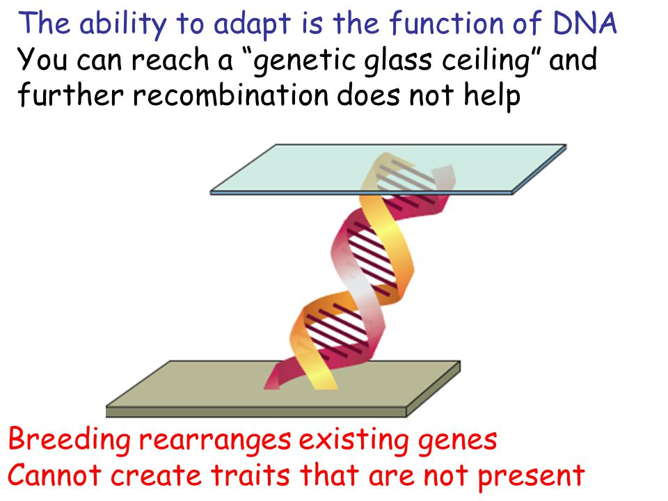 The ability to adapt is the function of DNA You can reach a genetic glass ceiling and further recombination does not help Breeding rearranges existing genes Cannot create traits that are not present