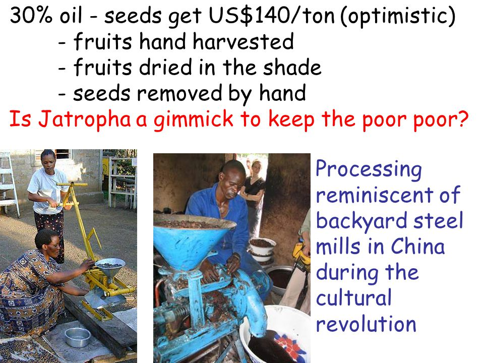 30% oil - seeds get US$140/ton (optimistic) - fruits hand harvested - fruits dried in the shade - seeds removed by hand Is Jatropha a gimmick to keep the poor poor.