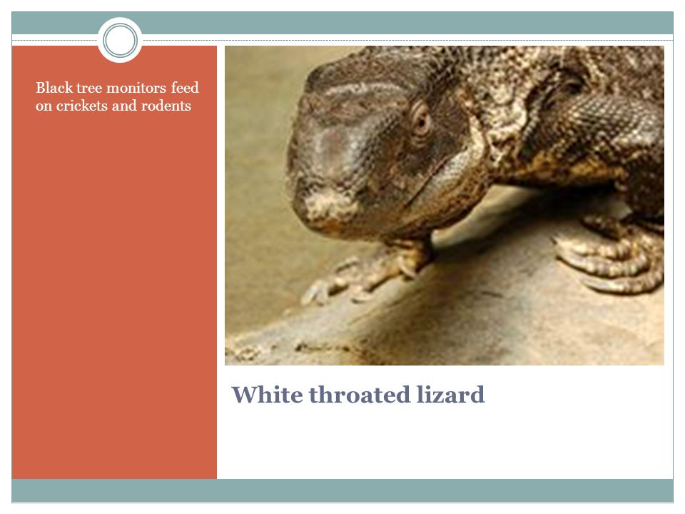 White throated lizard Black tree monitors feed on crickets and rodents
