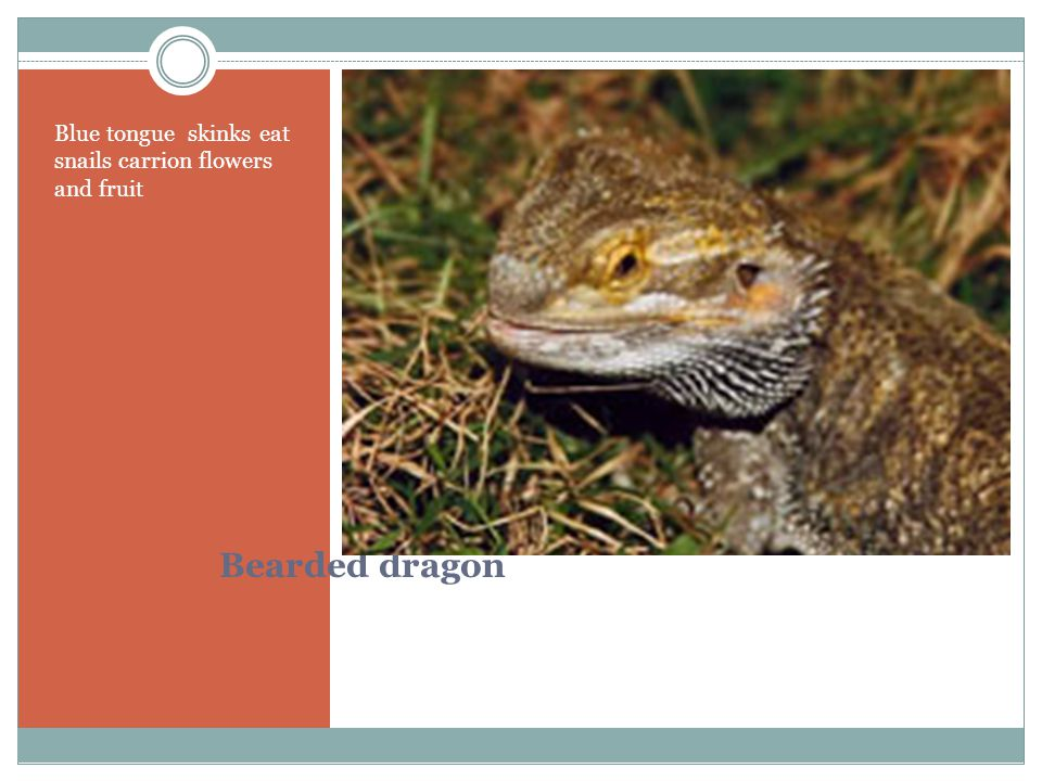 Bearded dragon Blue tongue skinks eat snails carrion flowers and fruit