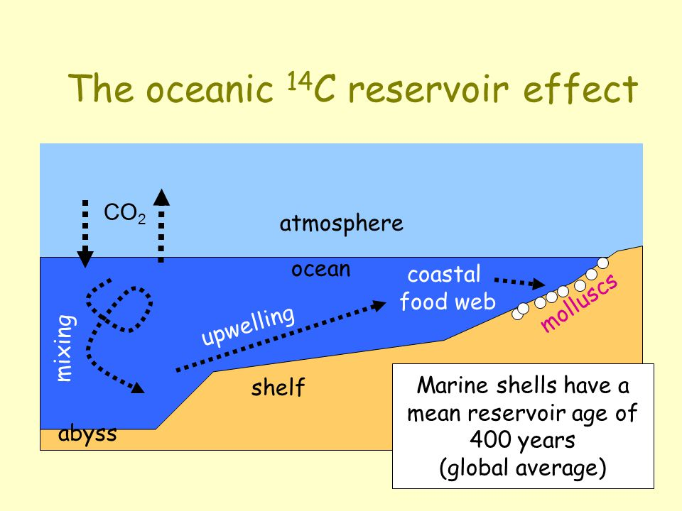 The oceanic 14 C reservoir effect atmosphere mixing upwelling ocean coastal food web molluscs abyss shelf CO 2 Marine shells have a mean reservoir age of 400 years (global average)