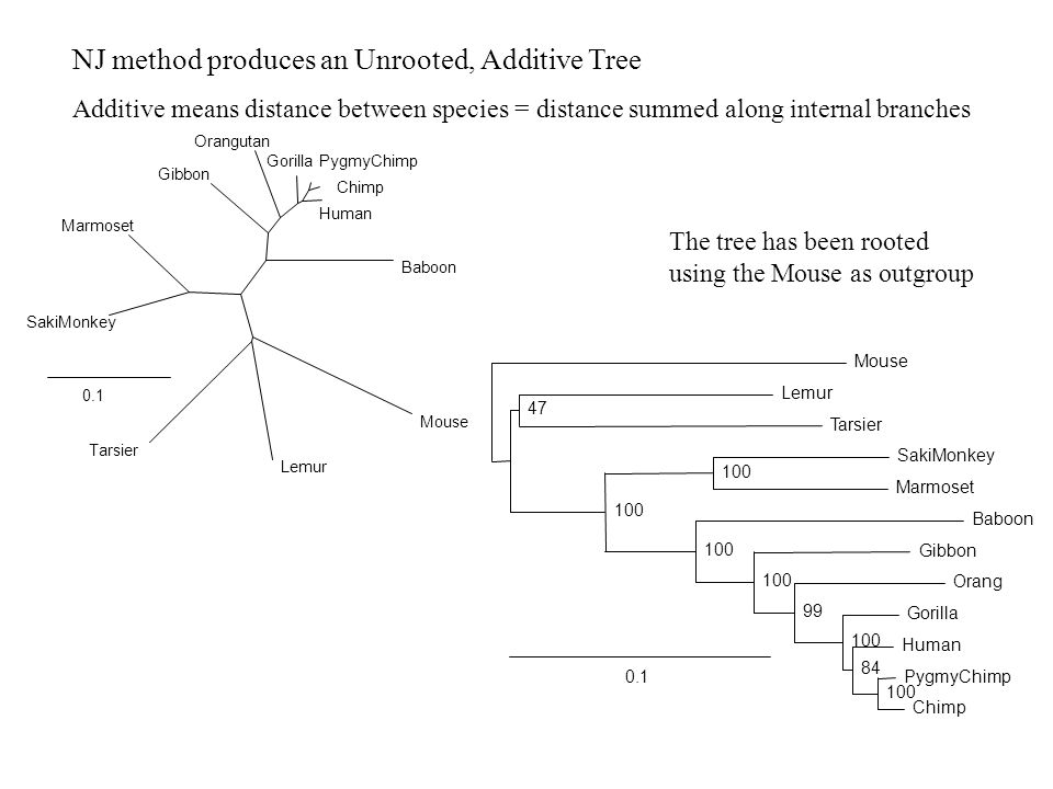 NJ method produces an Unrooted, Additive Tree Additive means distance between species = distance summed along internal branches 0.1 Baboon Mouse Lemur Tarsier SakiMonkey Marmoset Gibbon Orangutan GorillaPygmyChimp Chimp Human 0.1 Mouse Lemur Tarsier 47 SakiMonkey Marmoset 100 Baboon Gibbon Orang Gorilla Human PygmyChimp Chimp 100 84 100 99 100 The tree has been rooted using the Mouse as outgroup