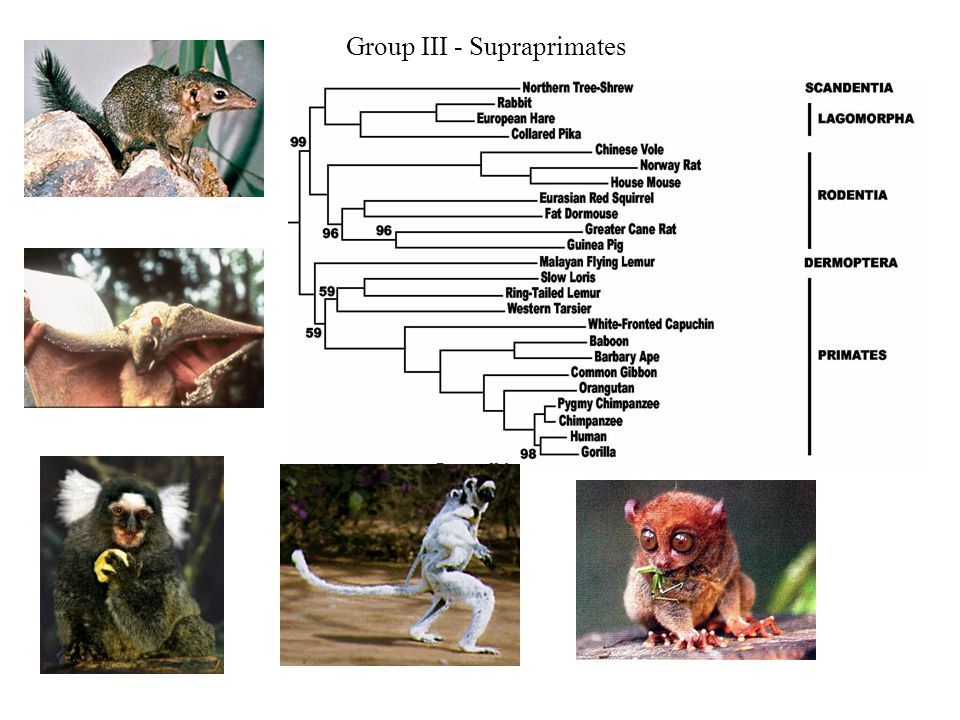 Group III - Supraprimates