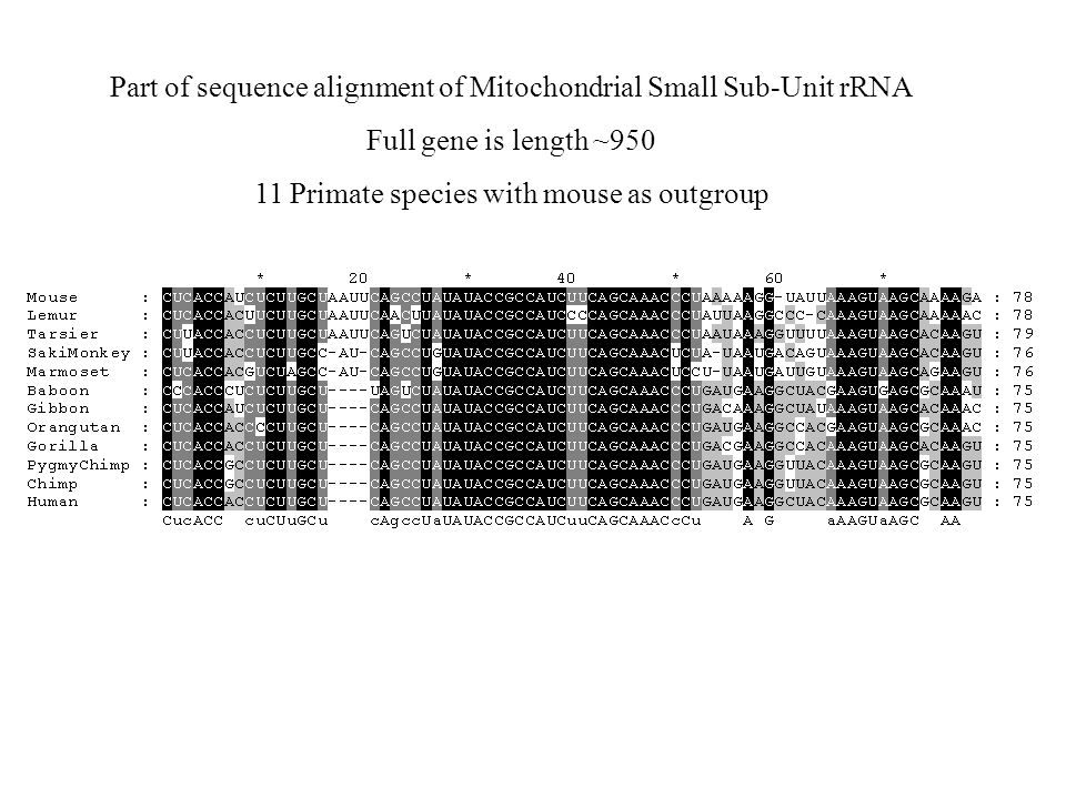 Part of sequence alignment of Mitochondrial Small Sub-Unit rRNA Full gene is length ~950 11 Primate species with mouse as outgroup
